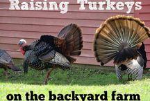 Turkeys / Keeping Turkeys
