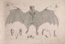 Animal - bat