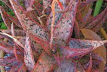 Sweetstuff Aloe