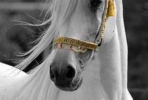 Türk atları