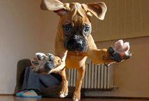 Boxer & Collie Puppies