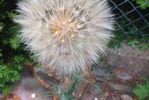 Gartenpflanze / Wiesen Bocksbart