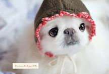 Pekingese collection / Pekingese is all over the world