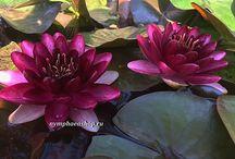 Нимфея (водяная лилия, кувшинка)