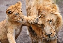 Lion Sanctuaries in India / Sanctuariesindia: Here You can get all information about ion Sanctuaries in India @ sanctuariesindia.com