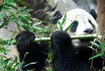 Animal. Great pandas / Great pandas
