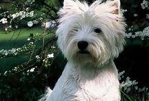 Westies / Pets