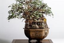 Bonzai or Bonsai Trees / A Collection of Bonsai or Bonzai Trees and Plants