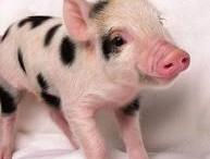 Mini piggies