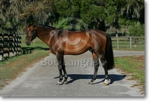 Selle Français / country of origin - France | average height 165-170 cm | colours - black, bay/brown, chestnut, grey, rarely tobiano pattern | uses - show jumping, dressage, eventing, general riding