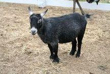 lotion goat
