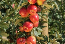 Fruit Pics / Pictures and videos of our favorite fruit orchards and orchardists / by Superfresh Growers