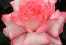Flower / by emad abdo