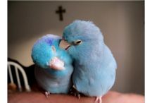 I love my Blue Parrotlets!