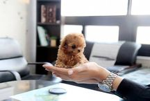 The Most Adorable Teacup Poodles