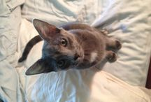 Russian Blues / Adopted Russian Blue cat