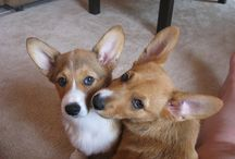 """Corgis.  / CORGIS ARE THE BEST DOGS IN THE WORLD, so they get their own board outside of """"animals"""""""