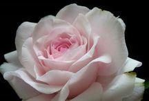 cukor virág