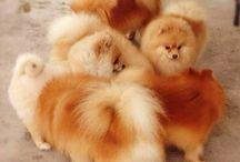 Pomeranian cuteness