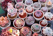 Cacti Babies