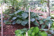 LOTG Hosta Farm Gardens / Some of our hosta gardens here at Land of the Giants Hosta Farm!