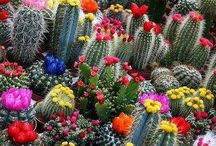 Cactus / I can grow cactus because they take no care, and I can do that. / by Elaine Carr