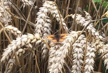 Butterflies and Moths / Pollinators in and around Bayer farms and or test sites and visits