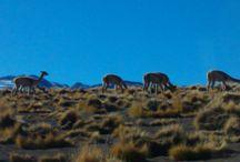 Gaysers del Tatio. / campo termico. aguas termales. Región de Antofagasta, Chile
