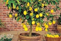 Lemons and lemon tree