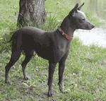 Mexican Hairless Dog / International Dog's Personal Websites Catalogue