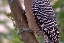Gila Woodpecker and Saguaro / Mutualism