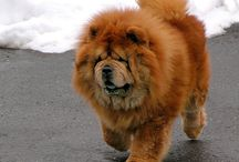 Chow Chow / Everything about Chow Chows