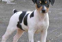 Rat Terrier/Jack Russel