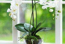 Архидеи