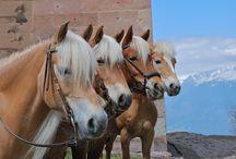 Reiten hafling meran / Reiten horses haflinger miramonti südtirol