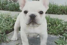 frenchies / by Heather Page