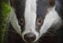 ~ Badger ~