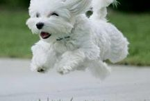 Maltese dog cuteness