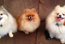 Pomeranians / by Sally Hung