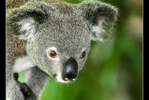 Koalas. My Favorite.  / by Lynn Speegle