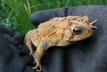 Animals - Frogs / by Jan Vafa