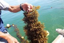 Regenerative Ocean Farming / keep up with and learn more about seaweed farming