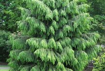 Picea smithiana Himalájai hosszútűs luc v. csüngőágú luc