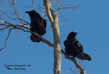 Corvids / Ravens, Crows and more.