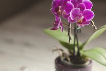 love orchidea
