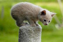 """Manx cat / Les chats de race """"Manx"""" ont la particularité de ne pas avoir de queue..."""