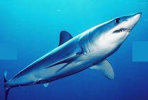 Peixes Cartilaginosos - Chondrichthyes : tubarões, raias e quimeras.