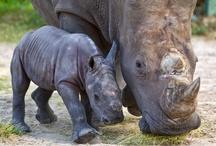 Busch Gardens Welcomes Baby White Rhinoceros
