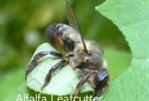 alfalfa leafcutter bees