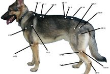 Canine acupuncture